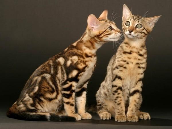 ベンガル猫好きのあなたへ☆おすすめマニアック画像11つ