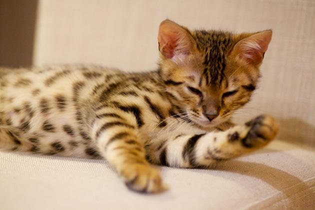 ベンガル猫を飼うならば!知っておきたい7つの特徴