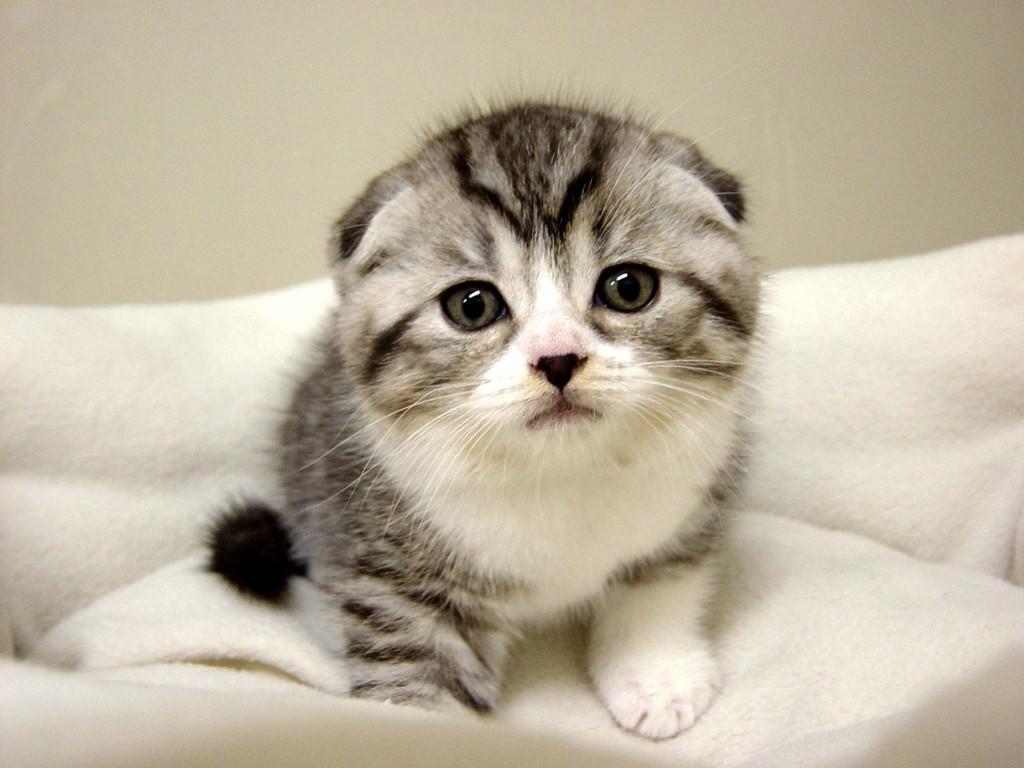 猫を飼うならスコティッシュフォールドがお薦め、その理由