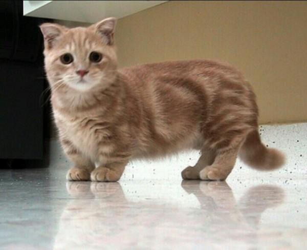 マンチカンは子猫が最高なその理由を画像を通して紹介