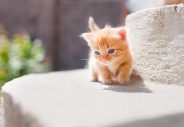 日向ぼっこする子猫マンチカン