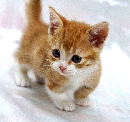 よちよち歩く子猫マンチカン