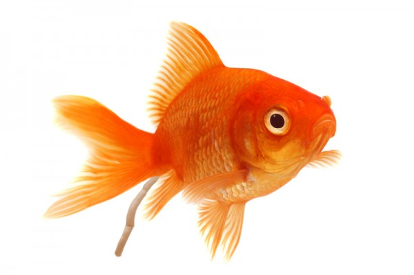 金魚の飼い方で覚えておいてほしい7つの基本事項