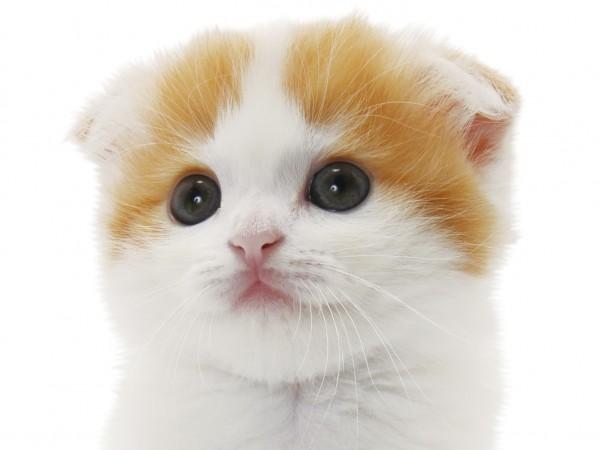 スコティッシュのここが好き!熱く語る猫好きの部屋