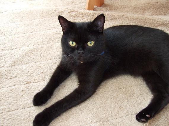 意外に知られていない黒猫とボンベイネコの7つ違い