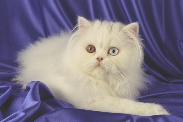 ペルシャ猫の性格から飼い方まで7つの角度で大公開
