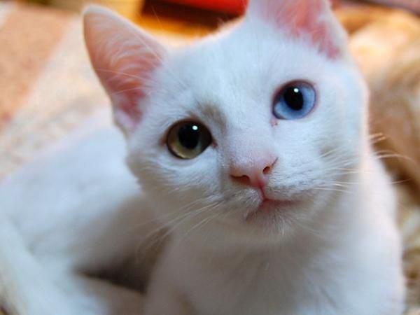 猫も糖尿病にかかる?症状や原因・治療法など7つの知識