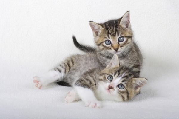 猫の出産に立ち会う時の手順と介助方法