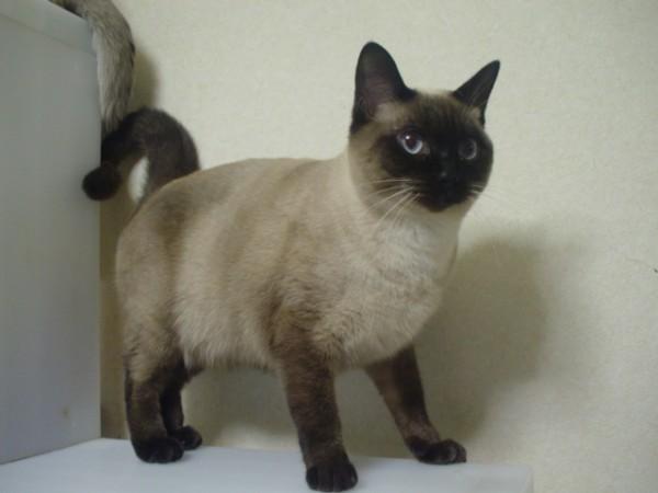 シャム猫を飼おうと決めたら知っておきたい5つのこと