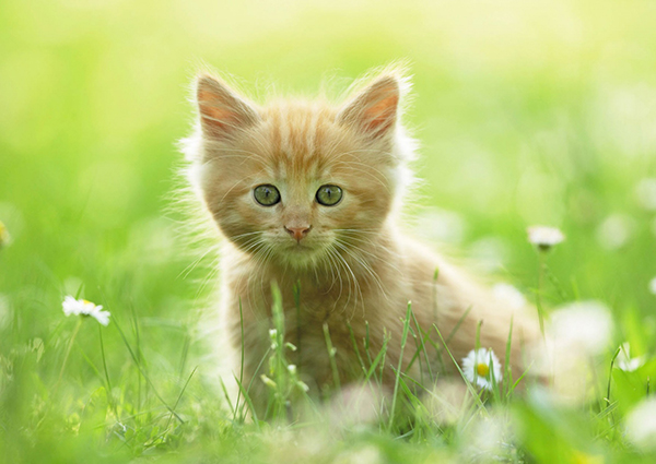 こねこを飼いたい!お気に入りの猫が見つかる12種類の猫図鑑