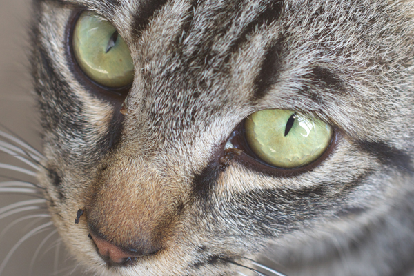 猫の年齢は人間にするとどのくらい?寿命までの見分け方