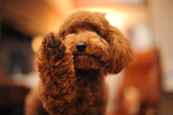ペットなら犬がおススメ☆初めてさんでも育てやすい小型犬