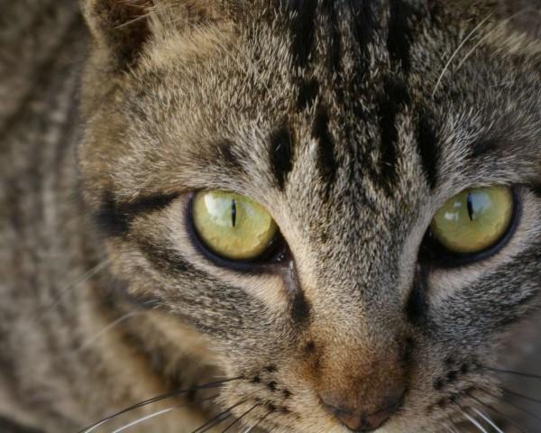 キジトラ猫の凛々しい瞳