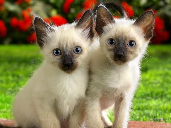 シャム猫の双子