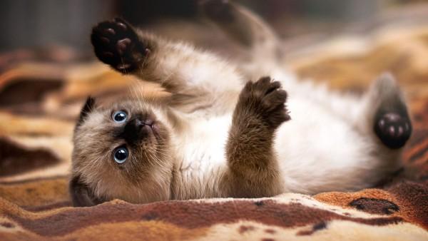 遊び盛りなシャム猫の子猫