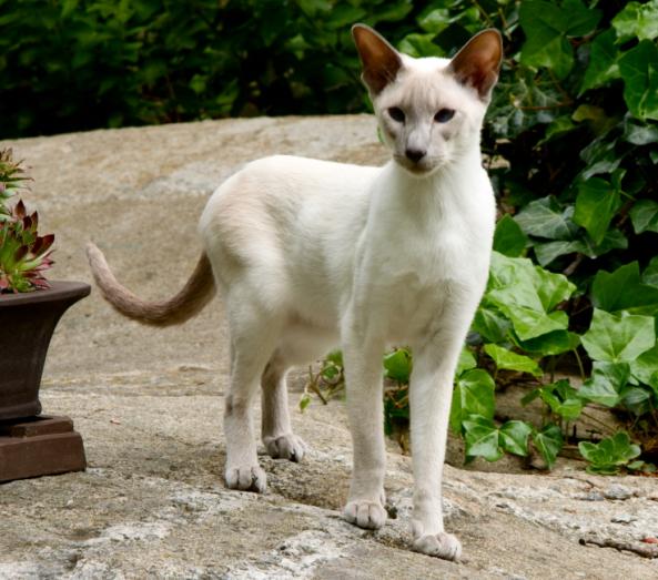 ライオンのようなシャム猫