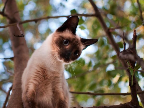 小首をかしげるシャム猫