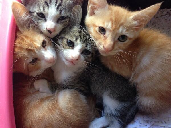 茶トラとサバトラの子猫たち