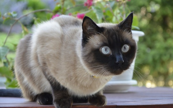何かに集中しているシャム猫