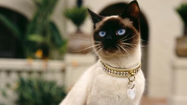 アクセサリーを身にまとうシャム猫
