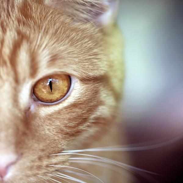 鈴のような瞳のトラ猫