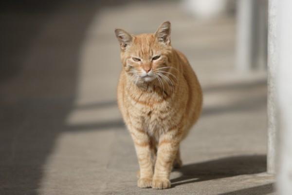 貫禄のトラ猫