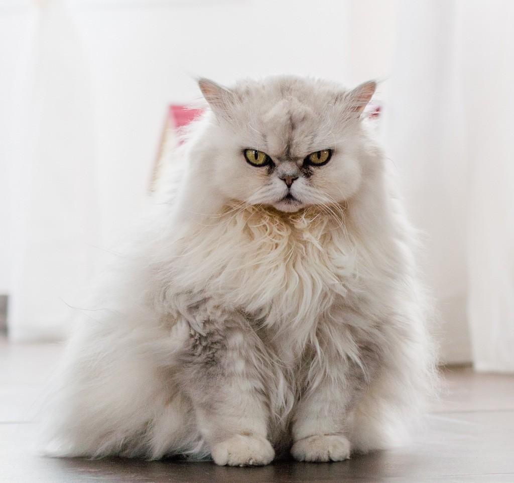 ペルシャ猫の性格を知って明日から一緒に暮らす方法