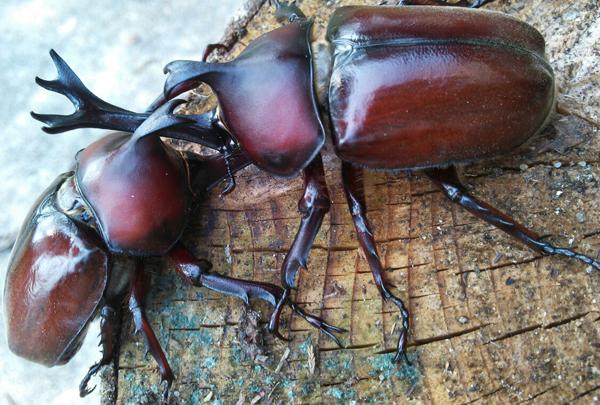 カブトムシの幼虫飼育マニュアル☆上手に育つ7つの注意点