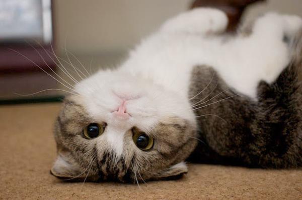 またたびを猫に与えてメロメロにしたい!与える際の注意点