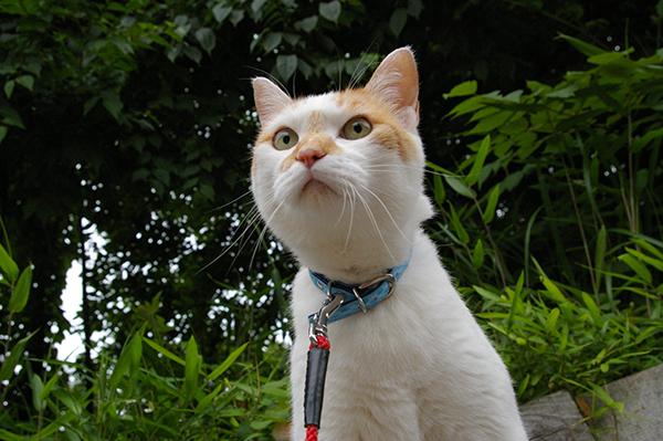 愛猫とお散歩したい☆一緒に出かけるための6つのポイント