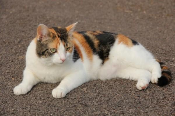 三毛猫の性格と気質、飼い方・購入方法など豆知識