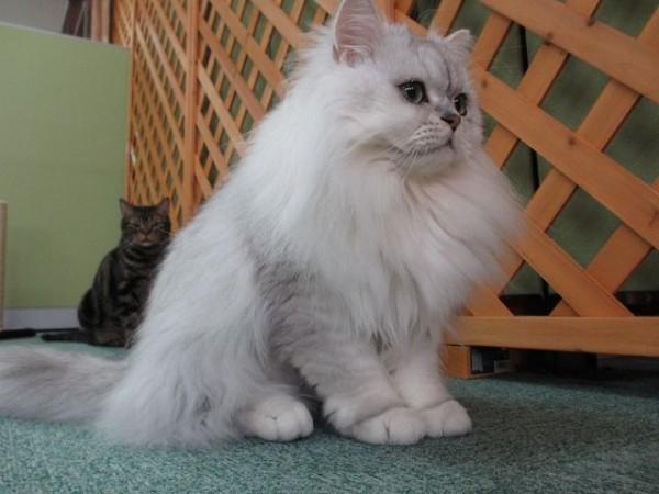 チンチラ猫の可愛いキュンキュン画像11選