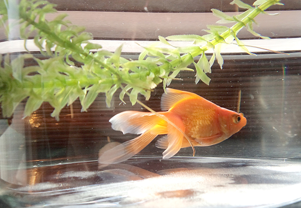 金魚の飼い方・失敗しない基本的な5つの飼育マニュアル