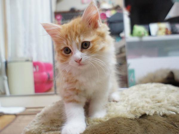 マンチカンの子猫情報☆見つめてメロメロ~!3つの特徴