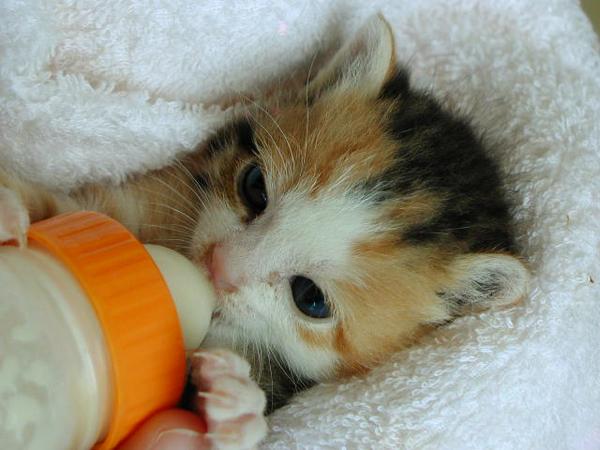 ミルクを飲む猫