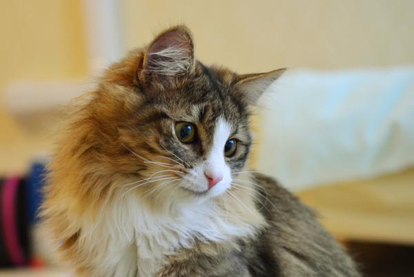 猫アレルギーだけど飼いたい!症状が出にくい9種類の猫