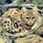猫の種類☆あまり知られていない7つの品種とその特徴