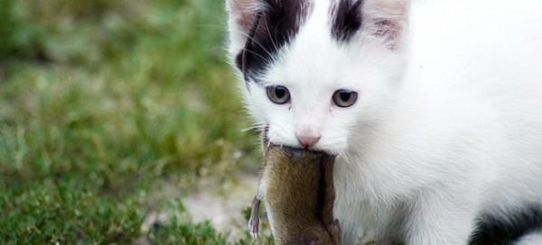 猫の種類でもっともオーソドックスな7種の人気猫ご紹介