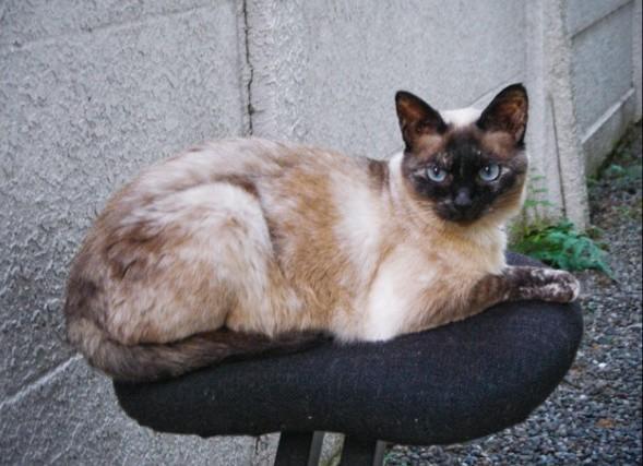 シャム猫の飼い方とその性格を徹底検証