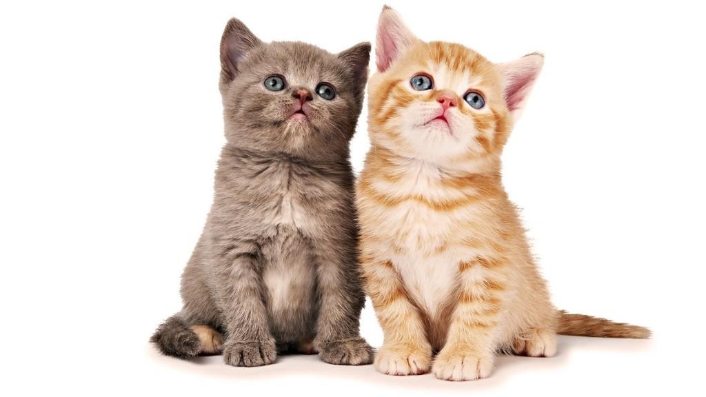 猫の種類で初心者にもおすすめな人気ランキング