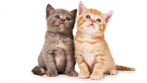 猫の人気種類★あなたが飼うならどの子?