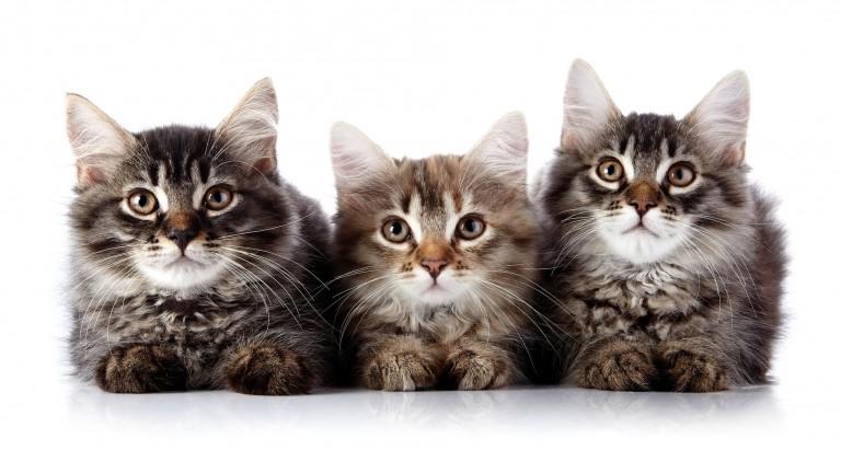 猫の種類を知るなら画像が最適★7つの品種