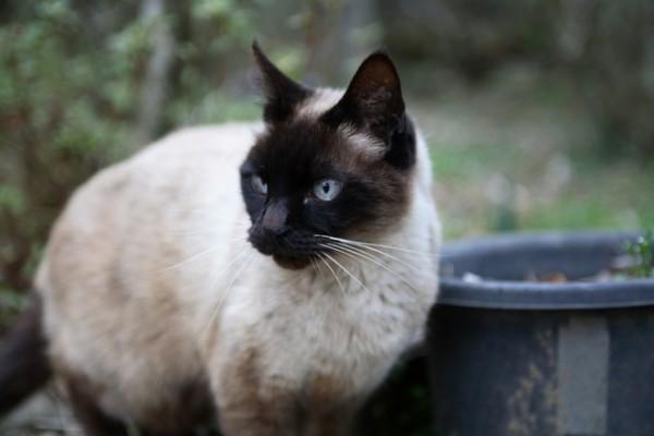 シャム猫好きなあなたにみてほしい7つの画像
