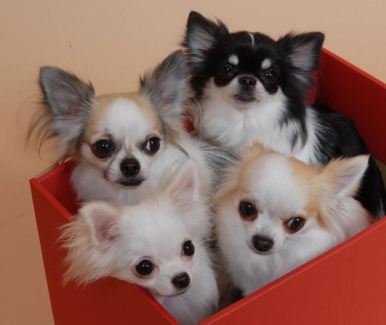 チワワが好きなら絶対おすすめの子犬専門洋服店