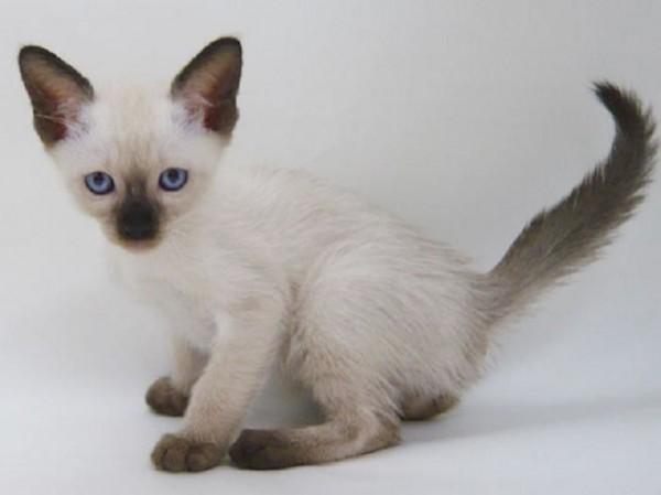 シャム猫に魅せられたあなたへ。素敵すぎる画像集