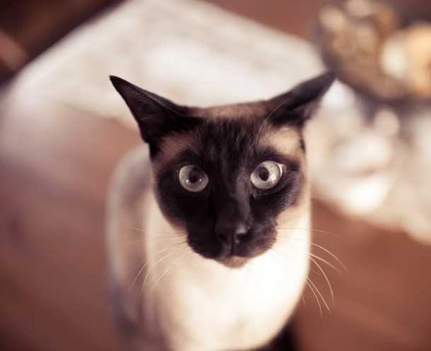 Animals___Cats_Funny_Siamese_cat_045633_
