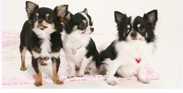 チワワ大好きさん集まれ~!ばっちり決まる犬ファッション