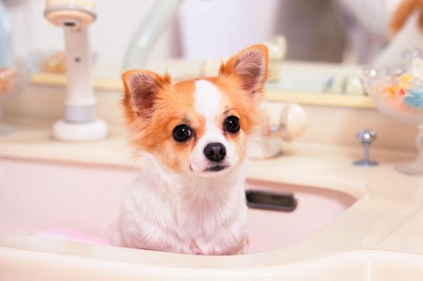 チワワ好きにおすすめの犬専用アクセサリー7種