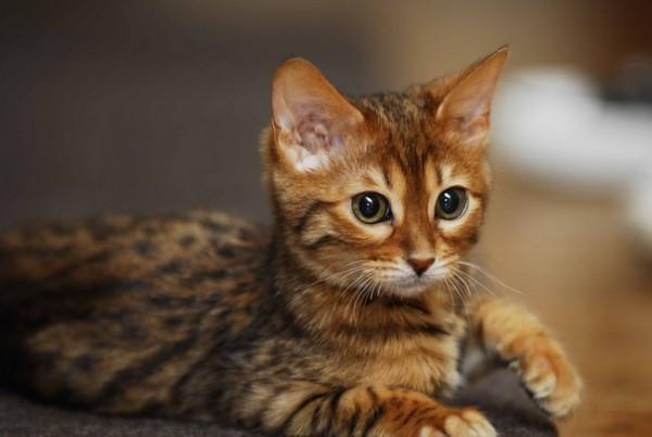 猫の種類は画像で知れる厳選7品種★