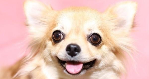 チワワ犬専用アクセサリー6種おすすめ☆